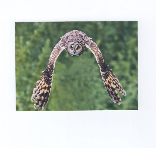 Long-Eared Owl by Vic Sharratt